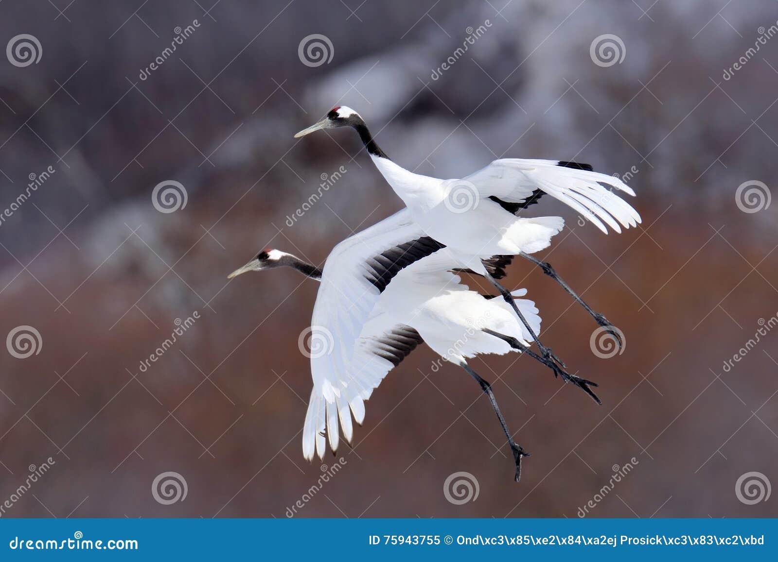 Twee kranen in vlieg Vliegende witte vogels rood-Bekroond kraan, Grus-japonensis, met open vleugel, de sneeuw van de bomenadverte