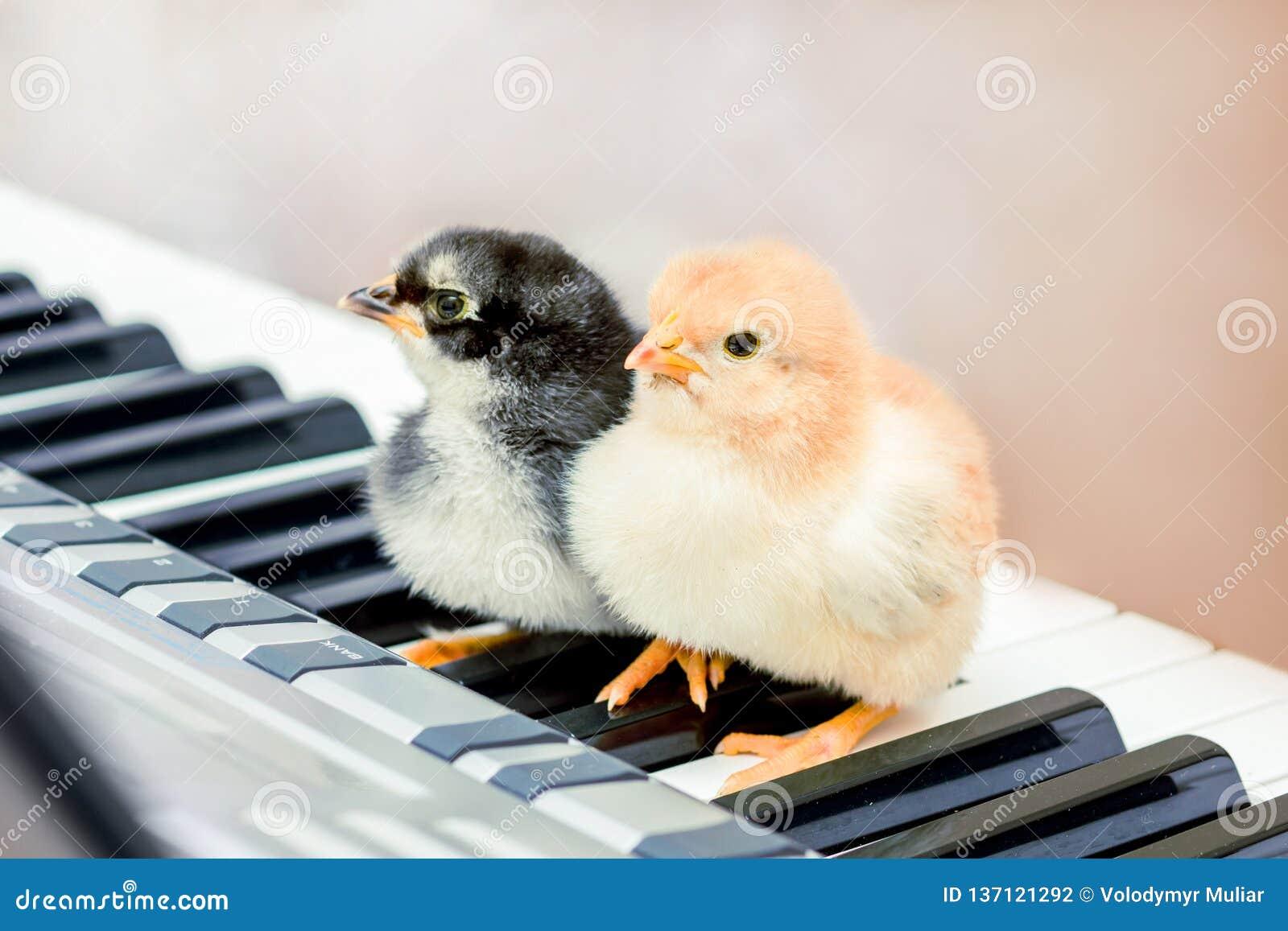 Twee kuikens op de pianosleutels Lessen van muziek Uitvoerend een musical speel een duet_