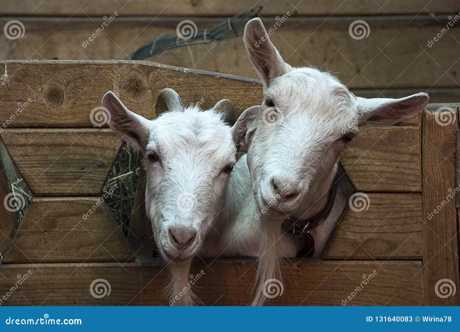Twee leuke grappige geiten