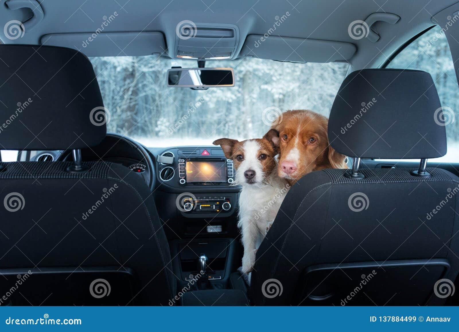 Twee leuke honden in de auto op de zetel zien eruit Een reis met een huisdier Nova Scotia Duck Tolling Retriever en Jack Russell
