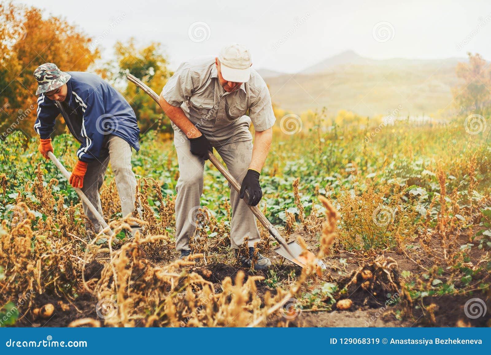 Twee mem gravende aardappels in de tuin