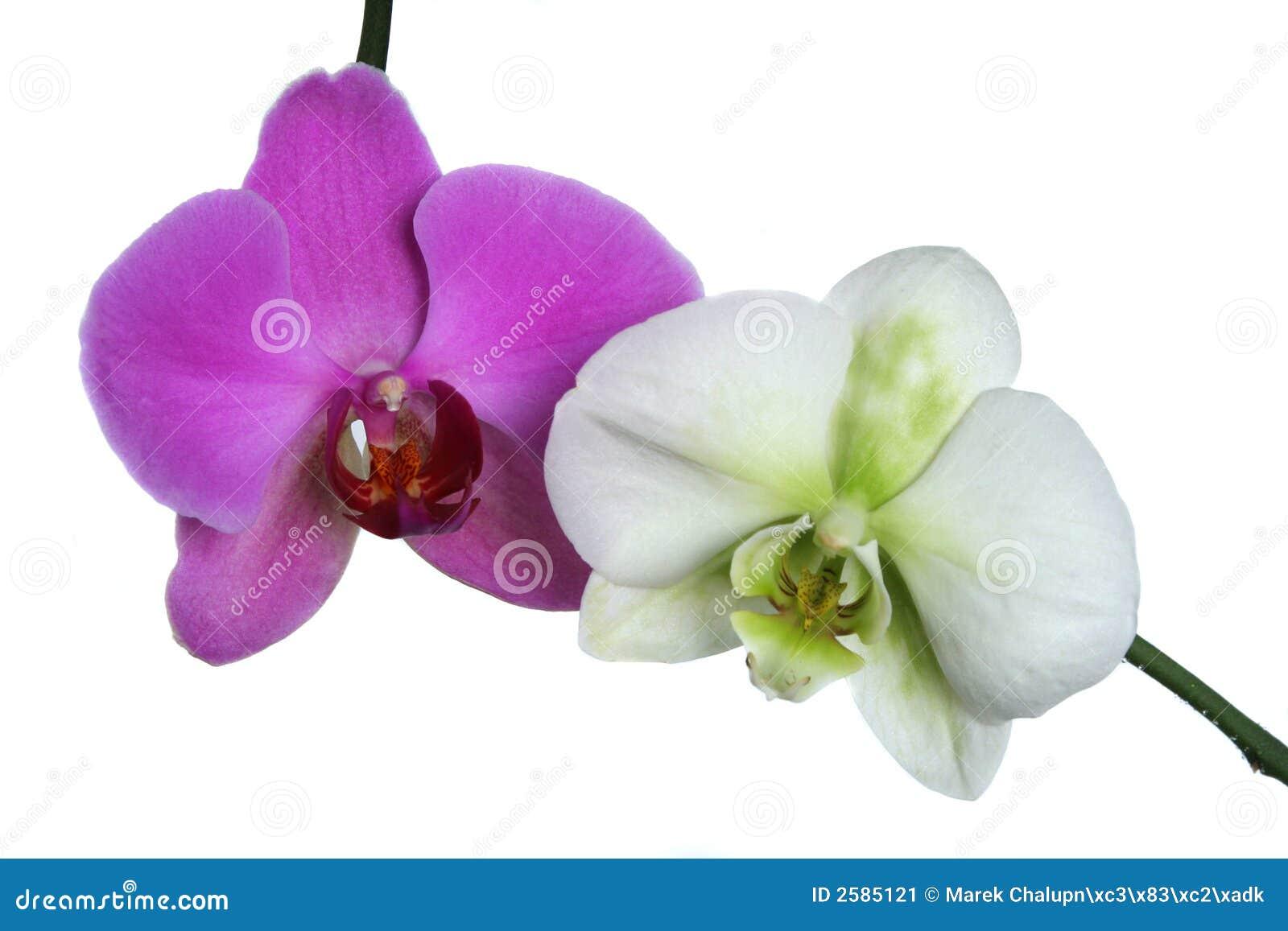 Twee orchideeën
