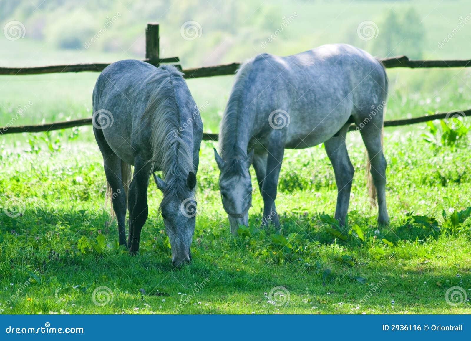 Twee paarden het voeden