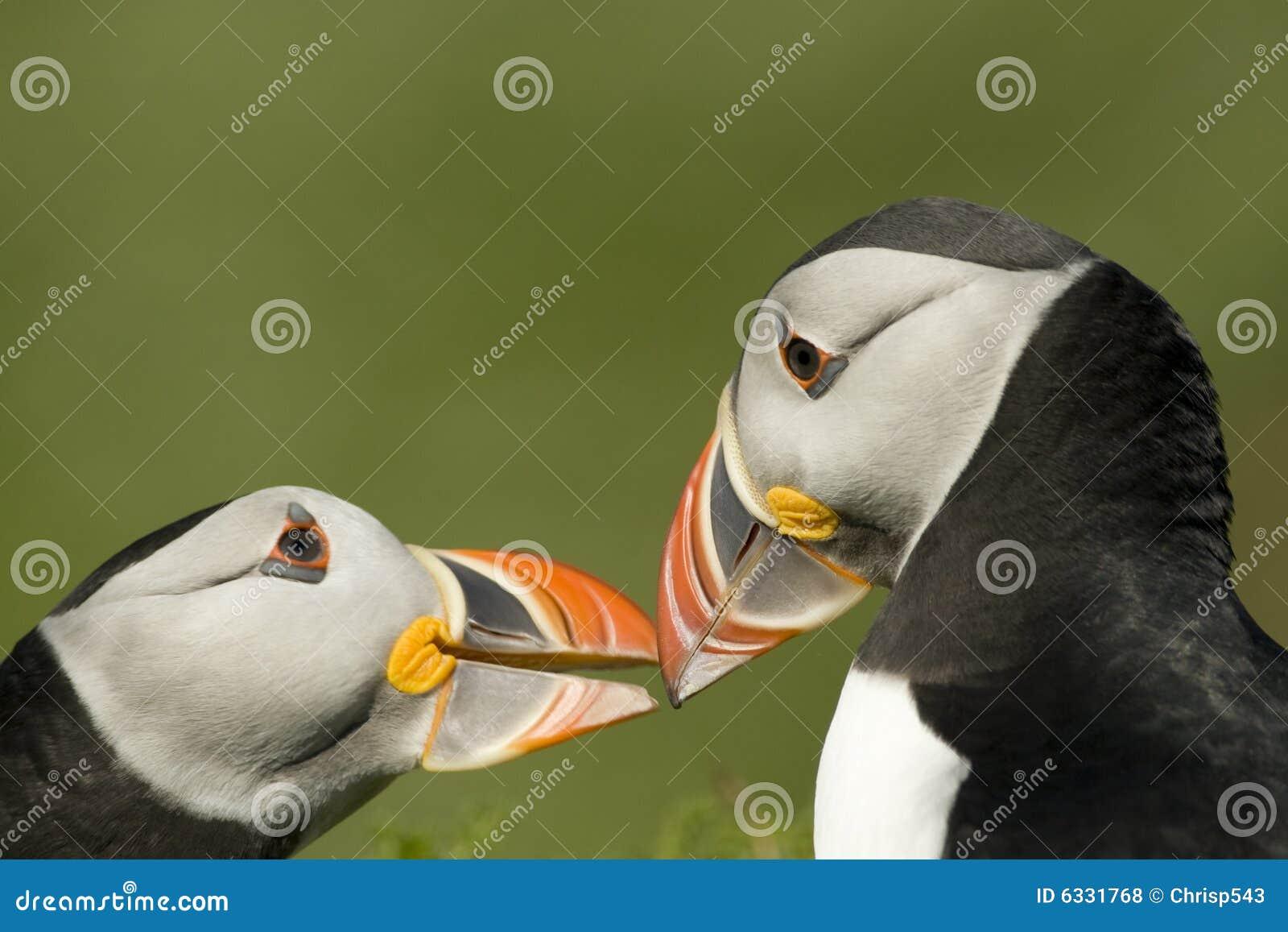 Twee papegaaiduikers die monogame verbintenis versterken