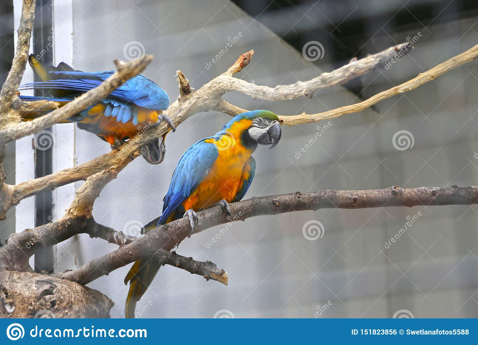 Twee papegaaien die op een tak zitten