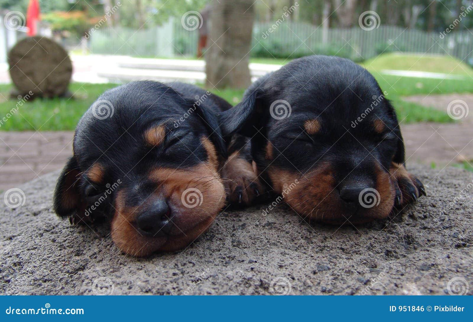 Twee pinscherpuppy
