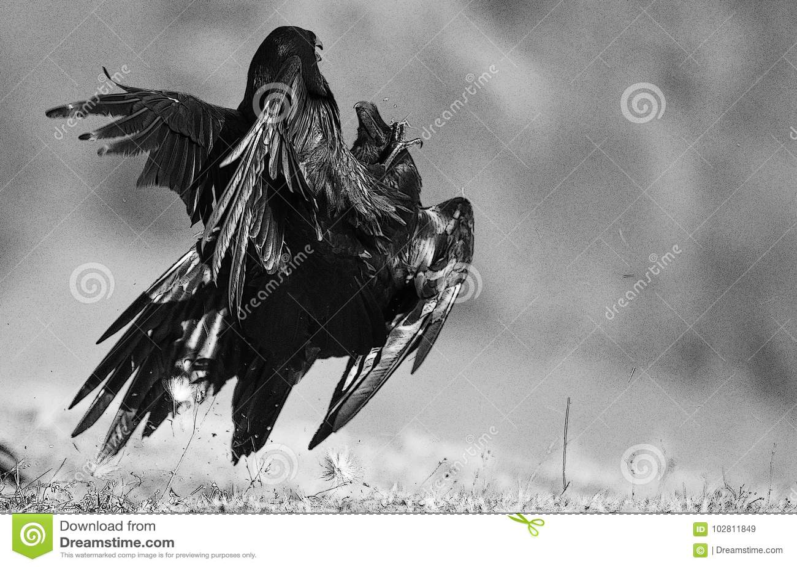 Twee raven Corvus die corax vechten BW-filter