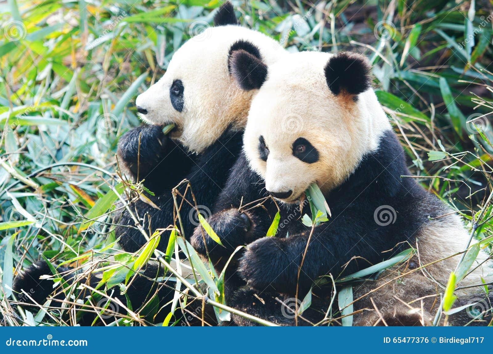 Twee Reuzepanda bears die bamboe, China eten