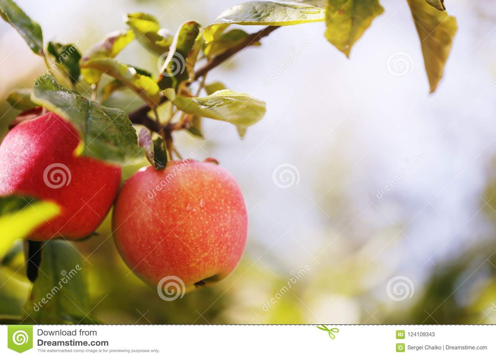 Twee rijpe appelen op een tak