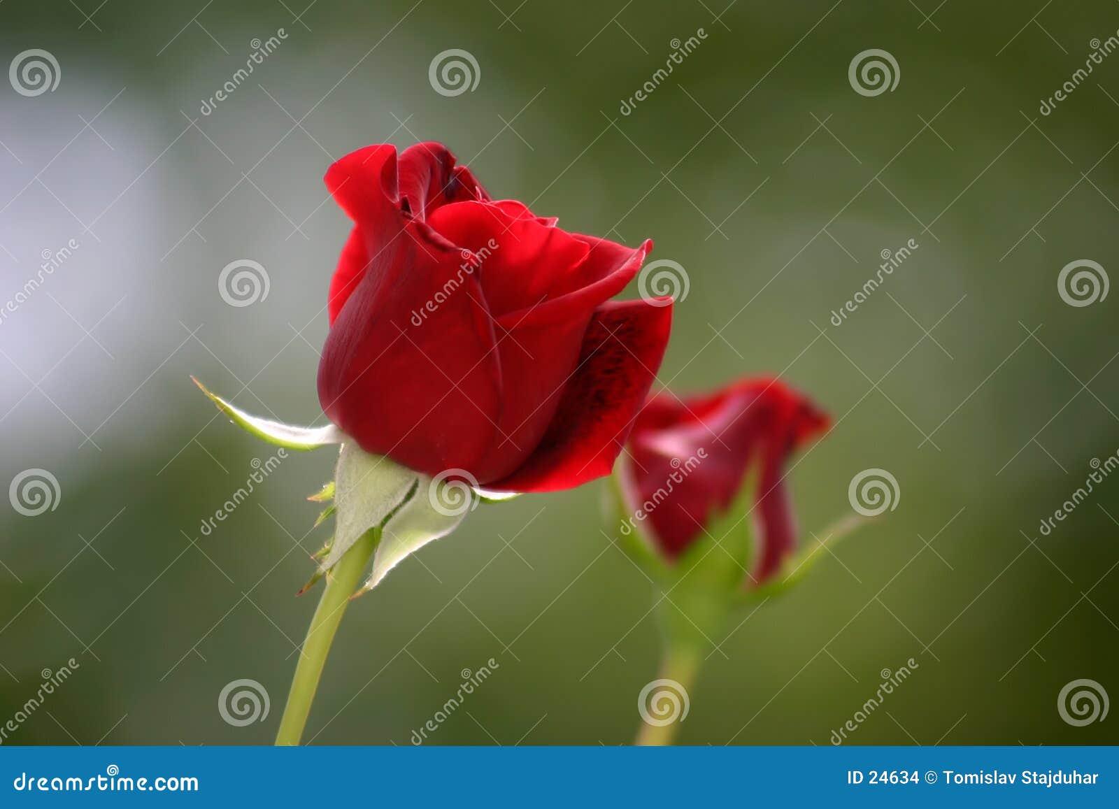 Twee rode rozen