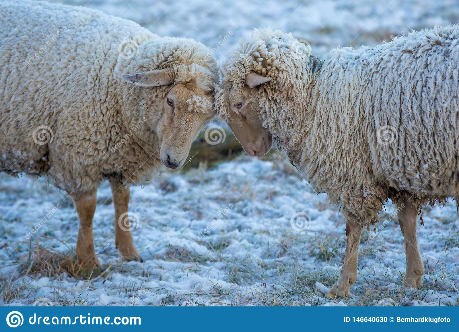 Twee schapen in de sneeuw met ijs in hun bont
