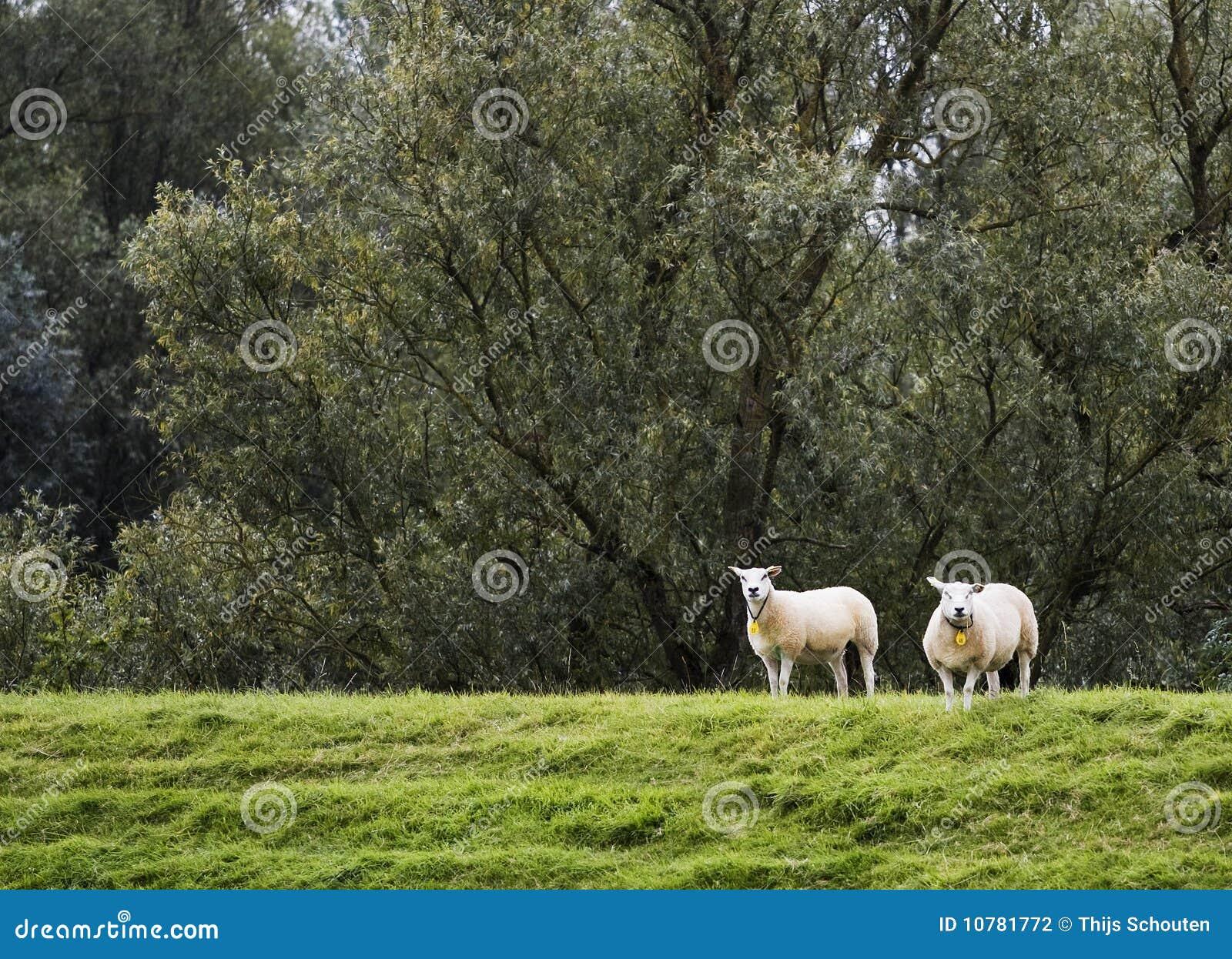 Twee sheeps