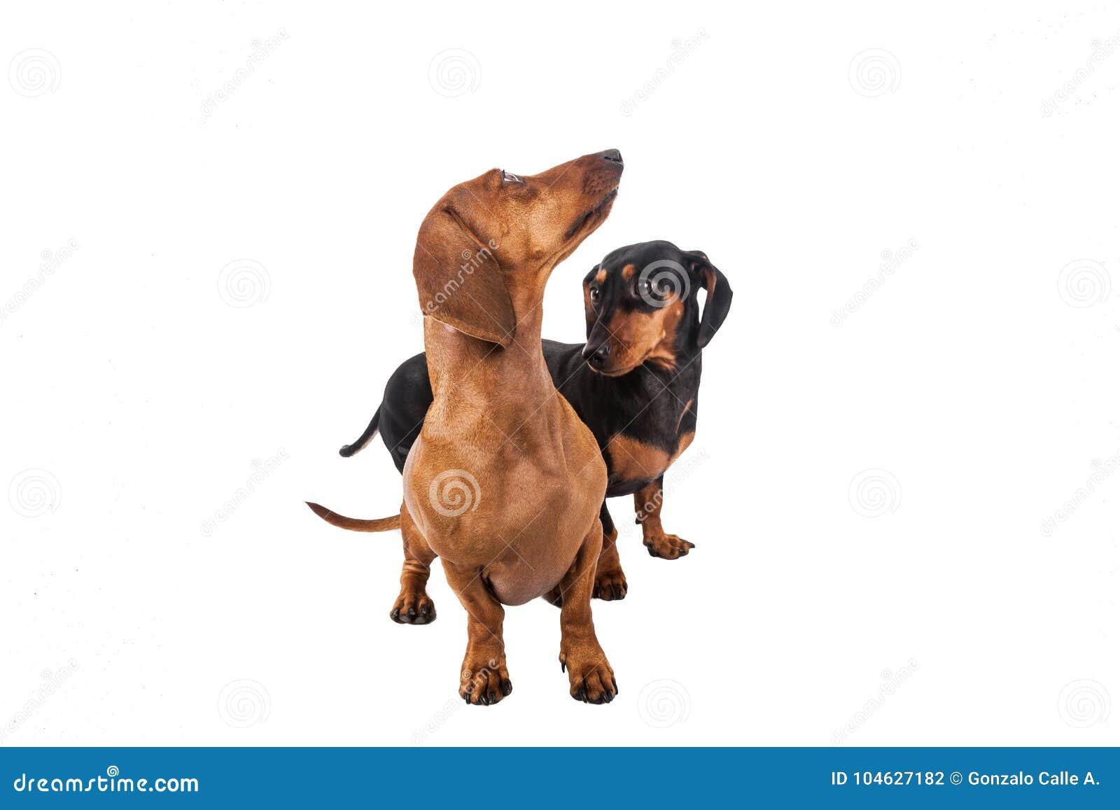 Download Twee Tekkelhond Over Witte Achtergrond Stock Foto - Afbeelding bestaande uit leuk, huisdier: 104627182