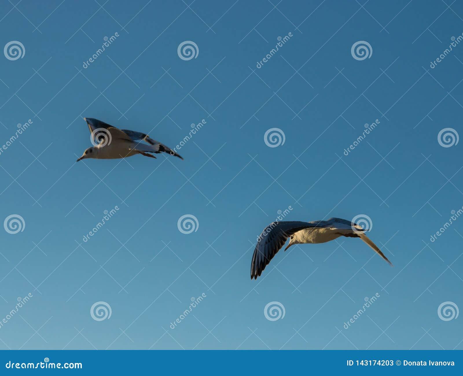 Twee vliegende zeemeeuwen op een achtergrond van blauwe hemel