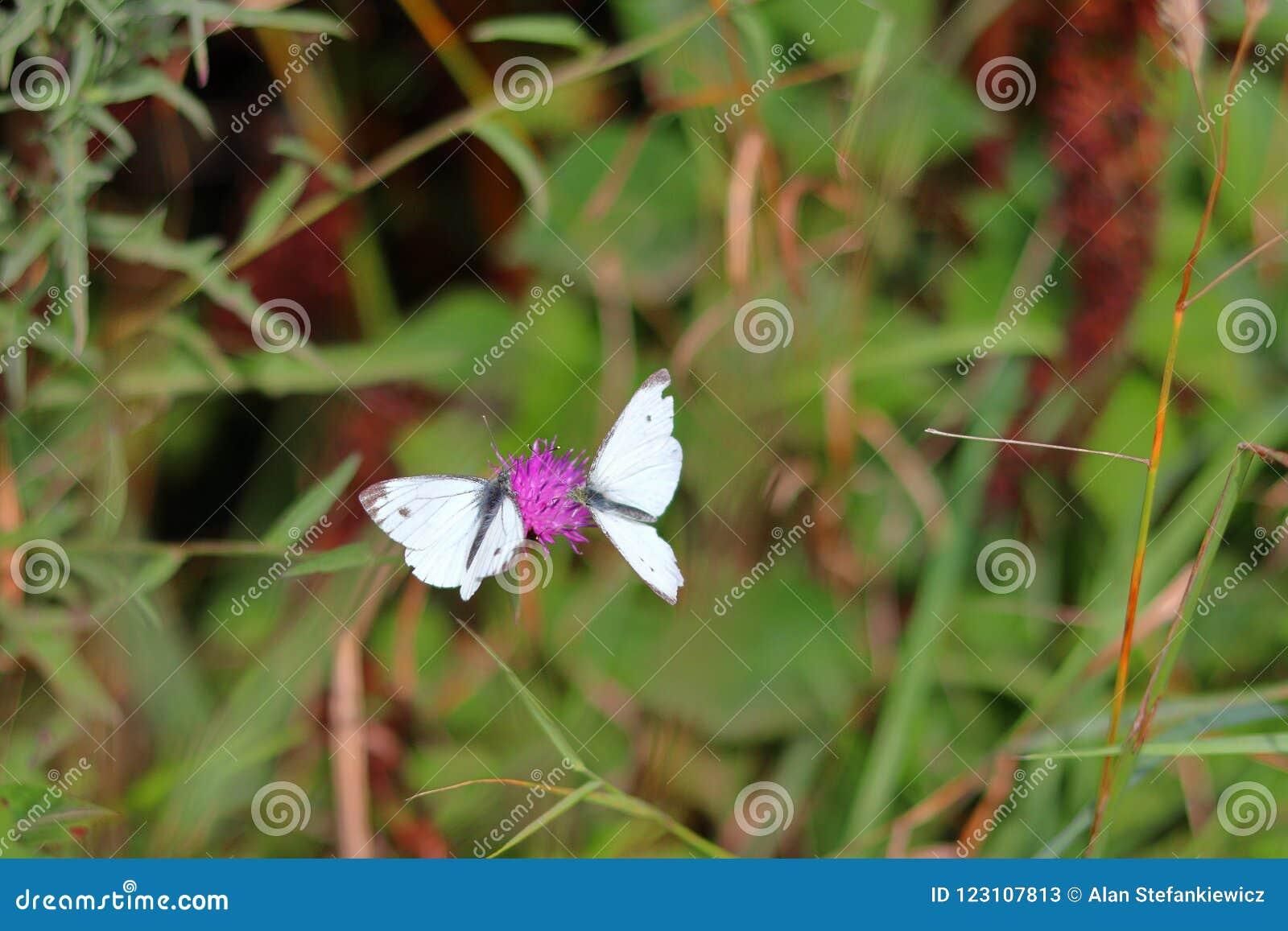 Twee vlinders op de bloem