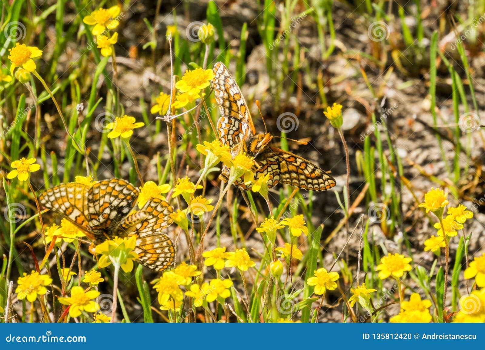 Twee vlinders van Baaicheckerspot (bayensis van Euphydryas Editha) op goudveldwildflowers; geclassificeerd als federaal gedreigd