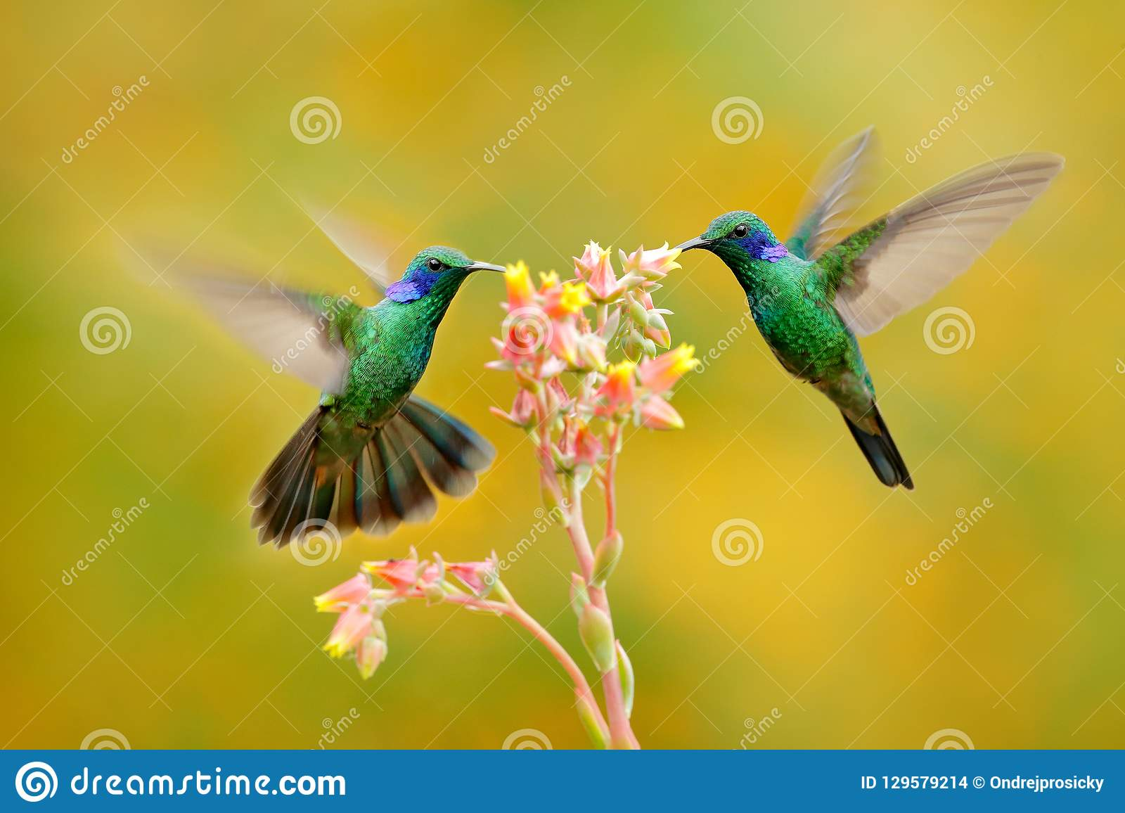 Twee vogels met oranje bloem Kolibries Groen violet-Oor, Colibri-thalassinus, die naast mooie gele bloem, Savegre vliegen,