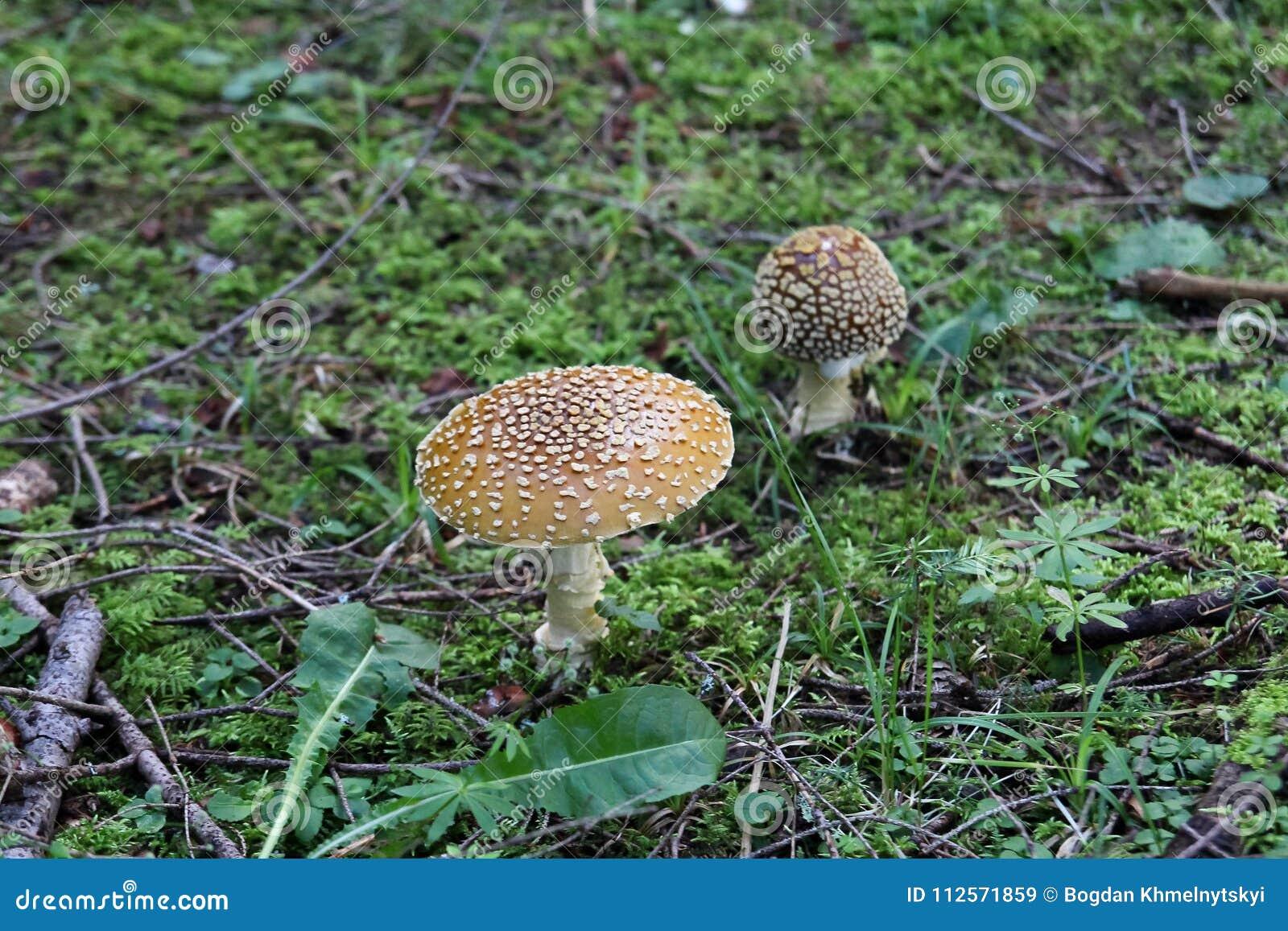 Twee vreemde paddestoelen groeien ter plaatse behandeld met klein groen gras in het bos