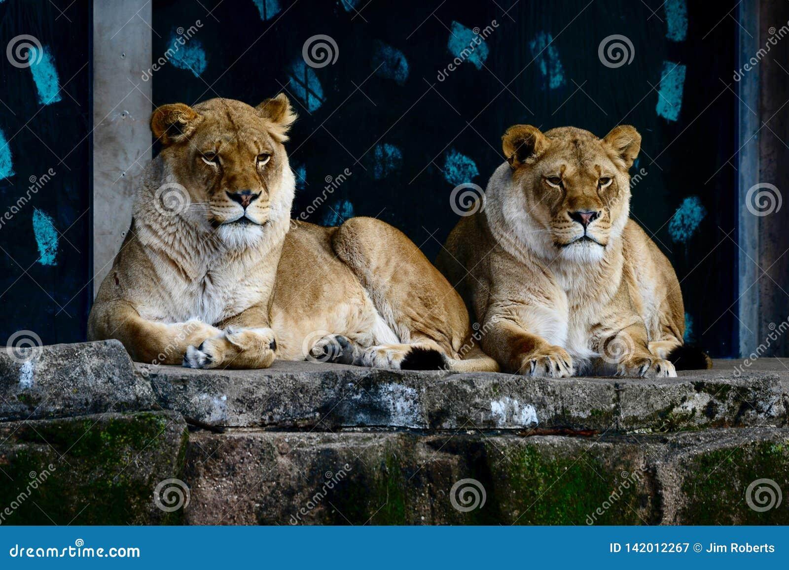 Twee Vrouwelijke Afrikaanse Leeuwen die op een Richel #2 rusten
