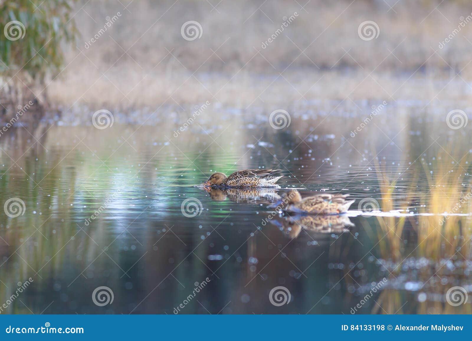 Twee vrouwelijke wilde eendeenden in het meer die zoeken te eten