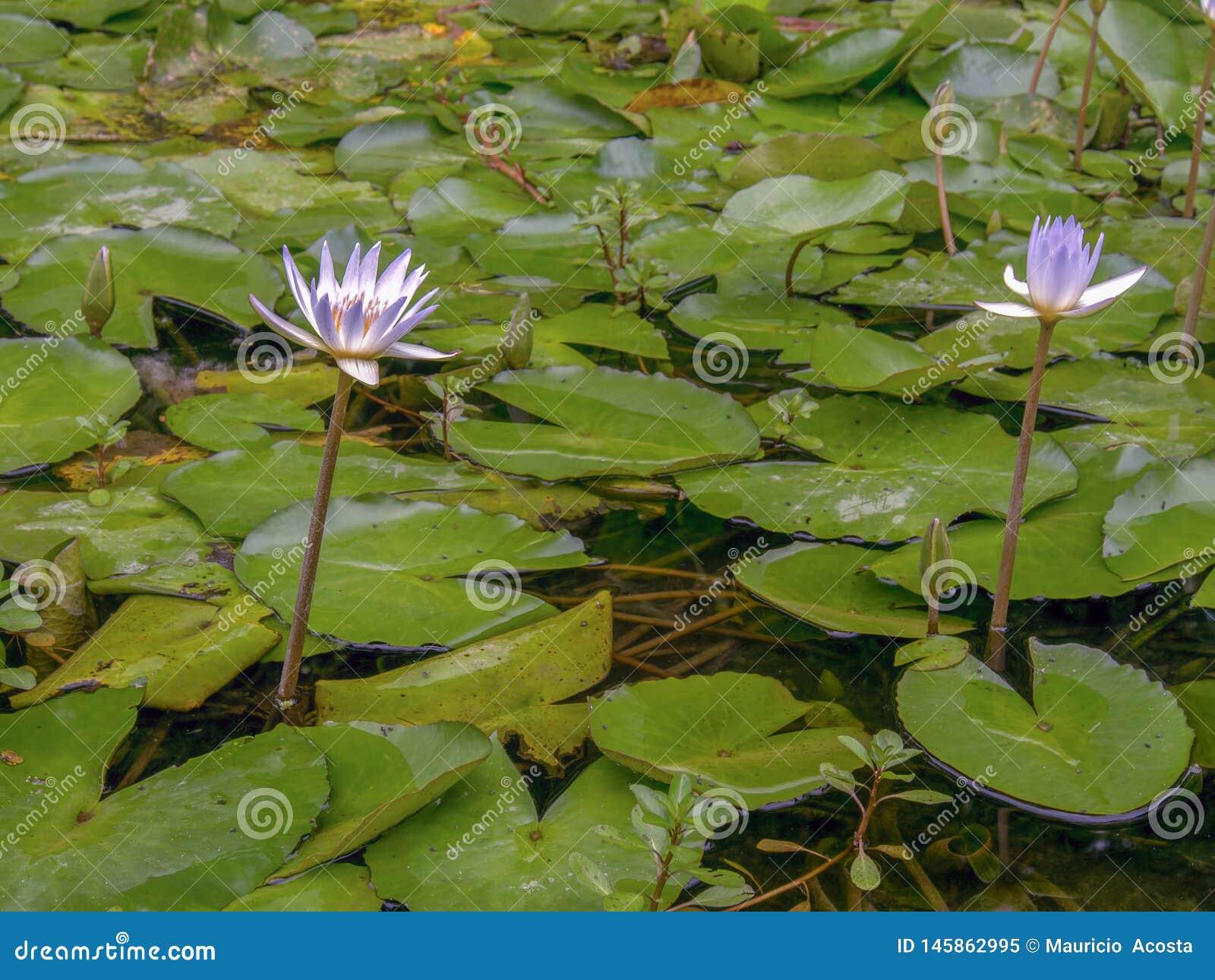 Twee waterlelies in een vijver