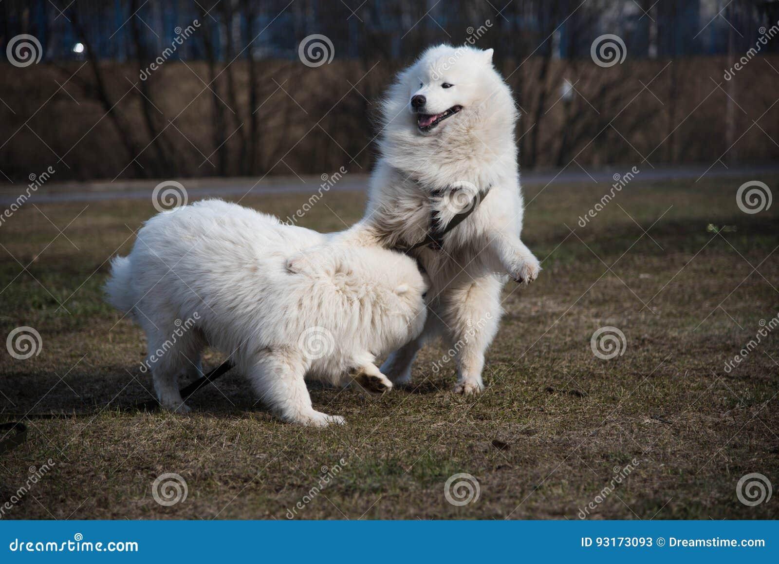 Twee witte honden vechten
