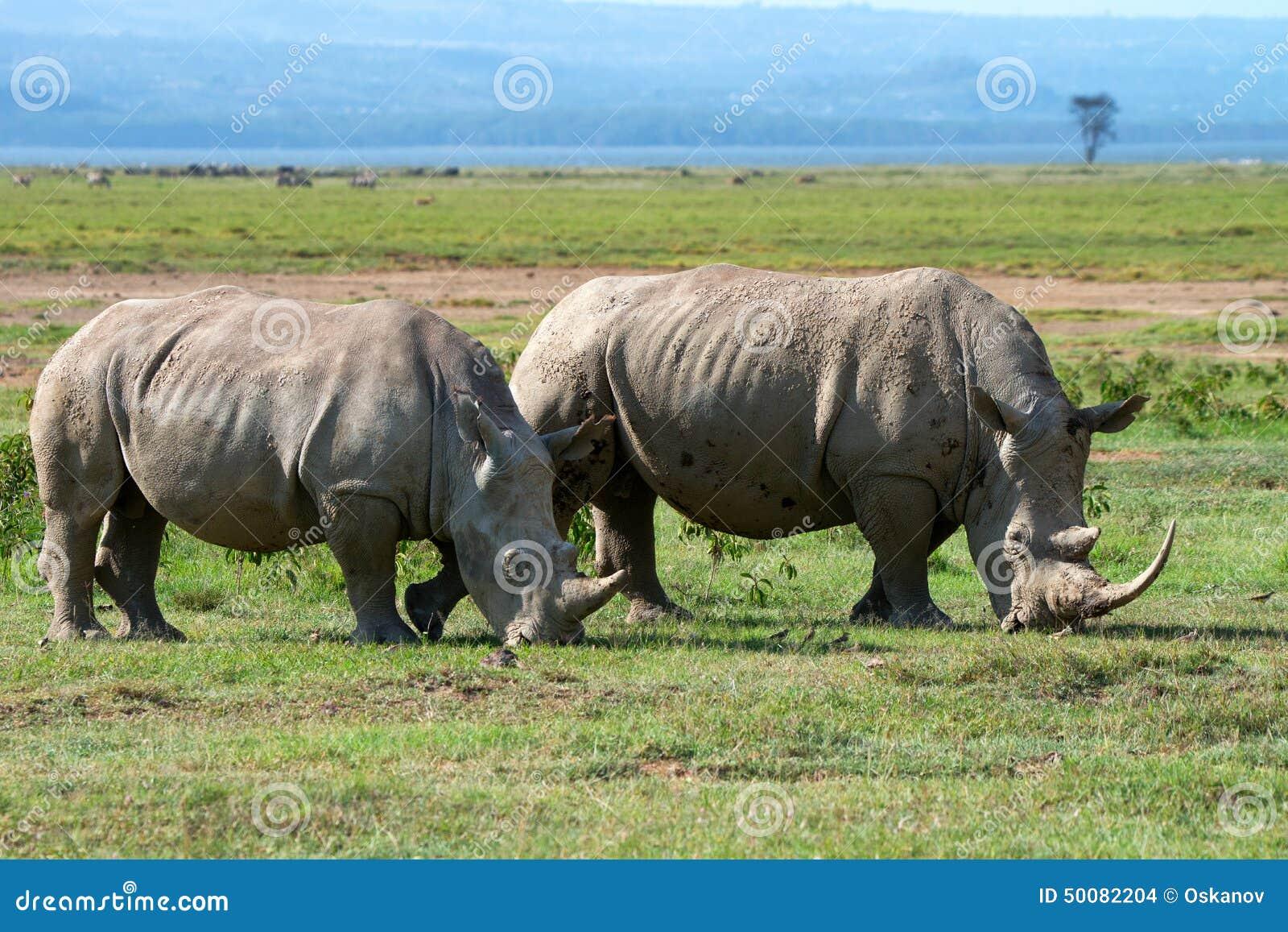Twee witte rinocerossen