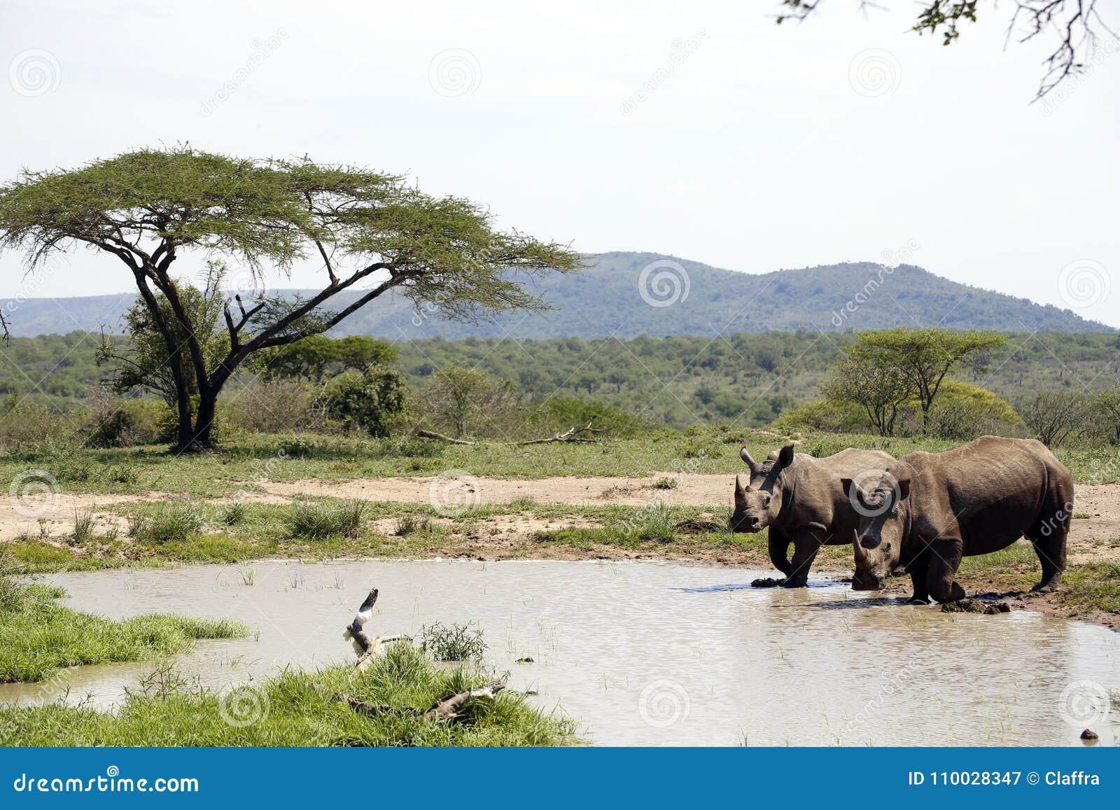 Twee witte rinocerossen in NP, Afrika