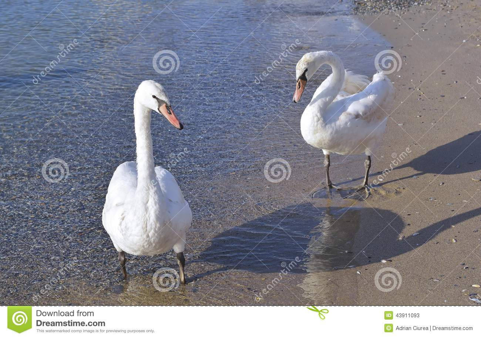 Twee witte zwanen