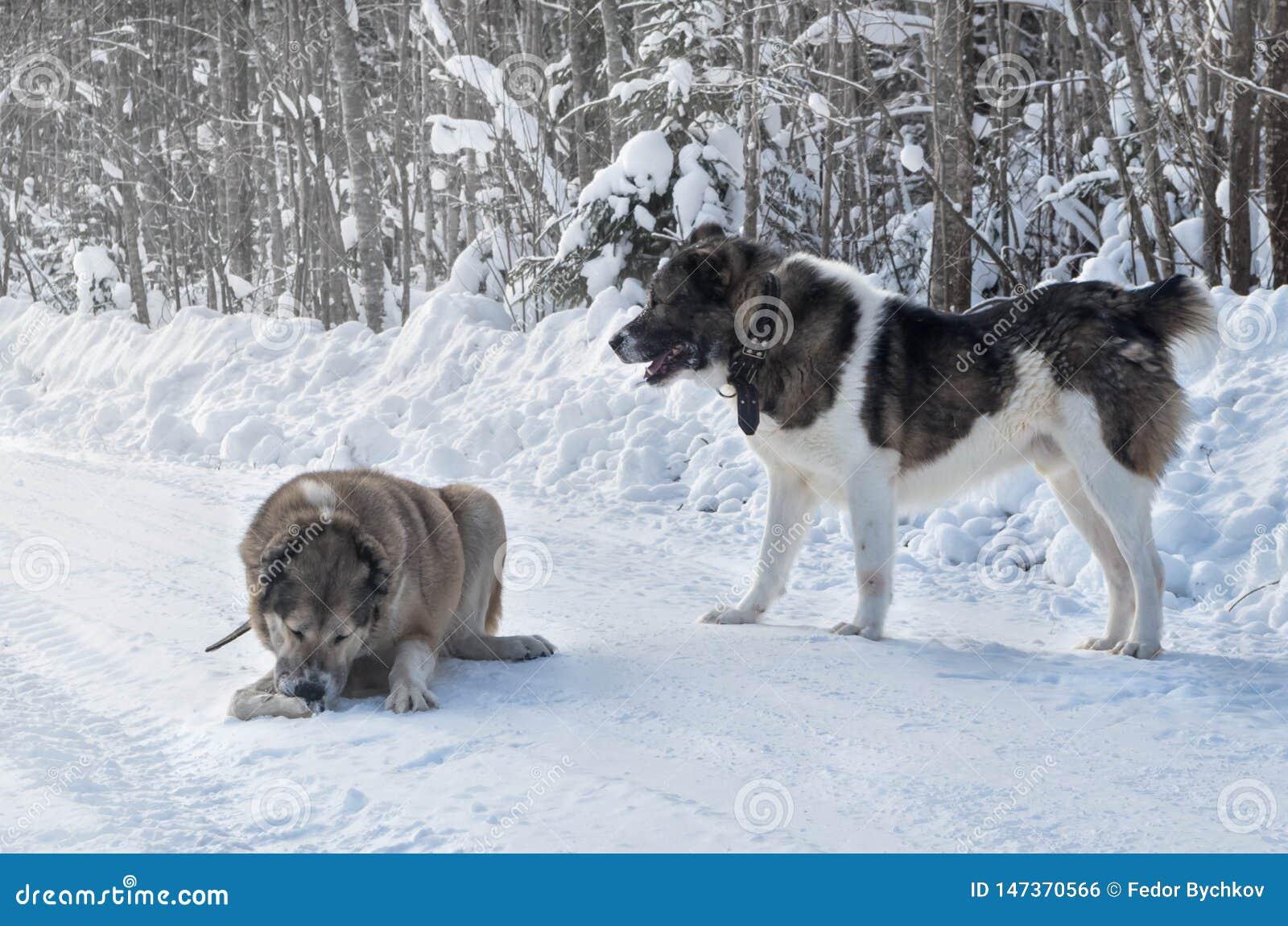 Twee wolfshondhonden die in de sneeuw spelen