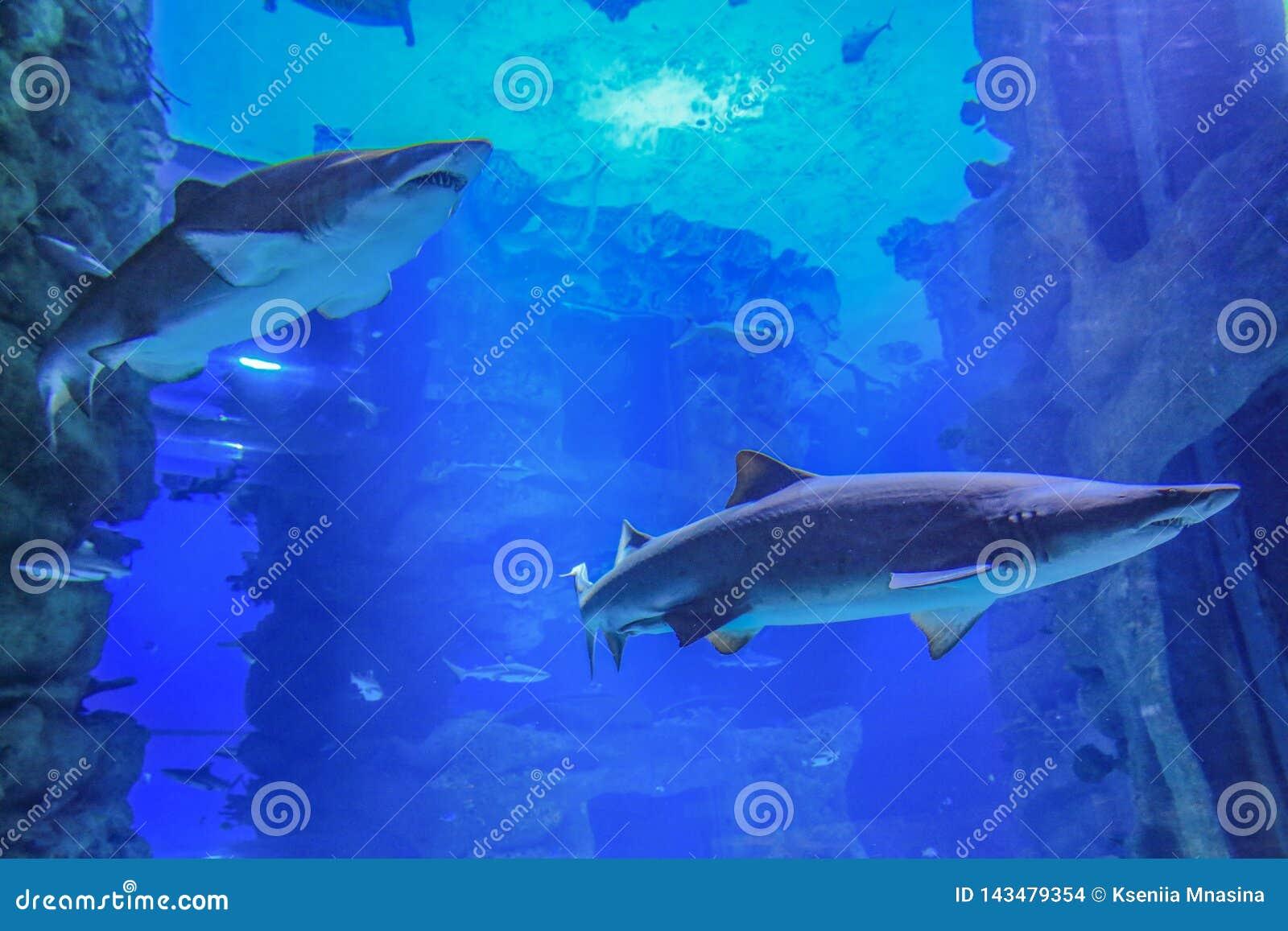 Twee zandhaaien die in blauw water zwemmen