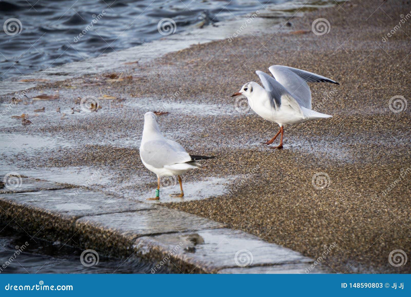 Twee zeemeeuwen bij de rand van het meer