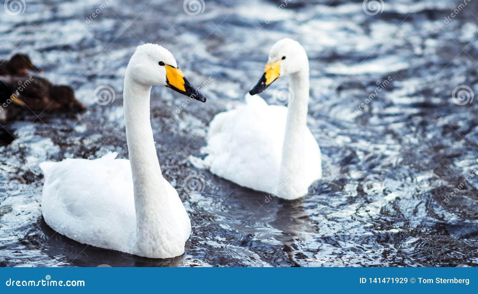 Twee Zwanen in Koude de Winterstroom
