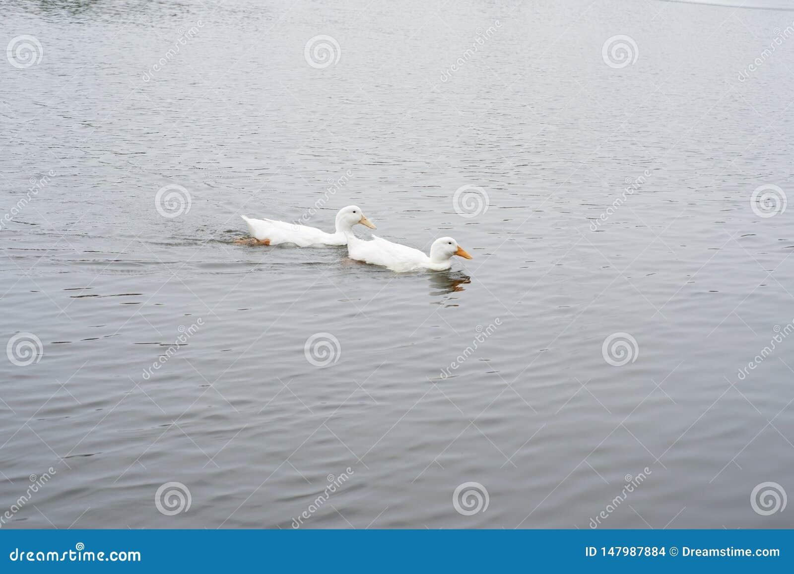 Twee zwanen swimimg