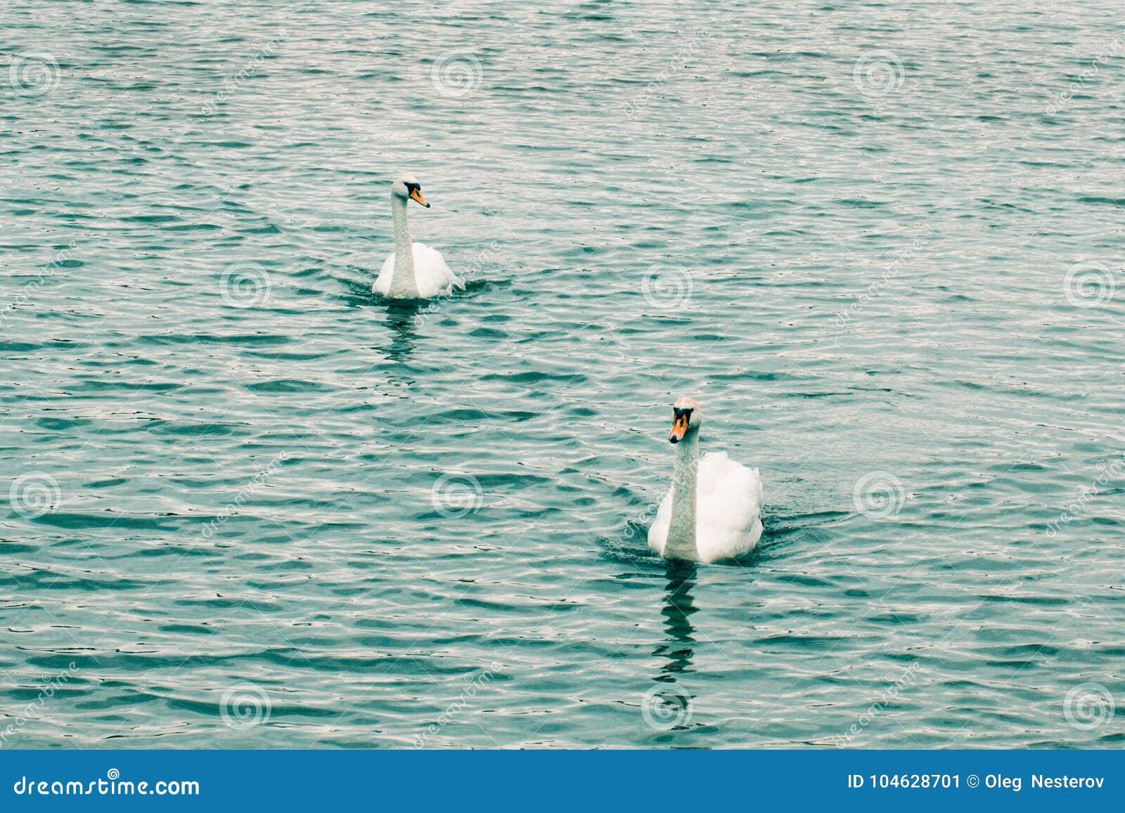 Download Twee Zwanen Zwemmen Langs Het Meer Stock Afbeelding - Afbeelding bestaande uit milieu, d0: 104628701