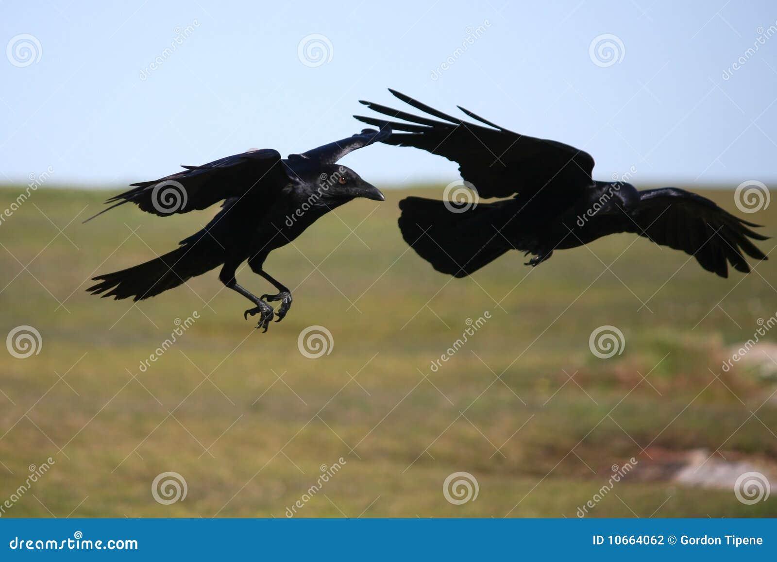 Twee zwarte kraaien tijdens de vlucht.