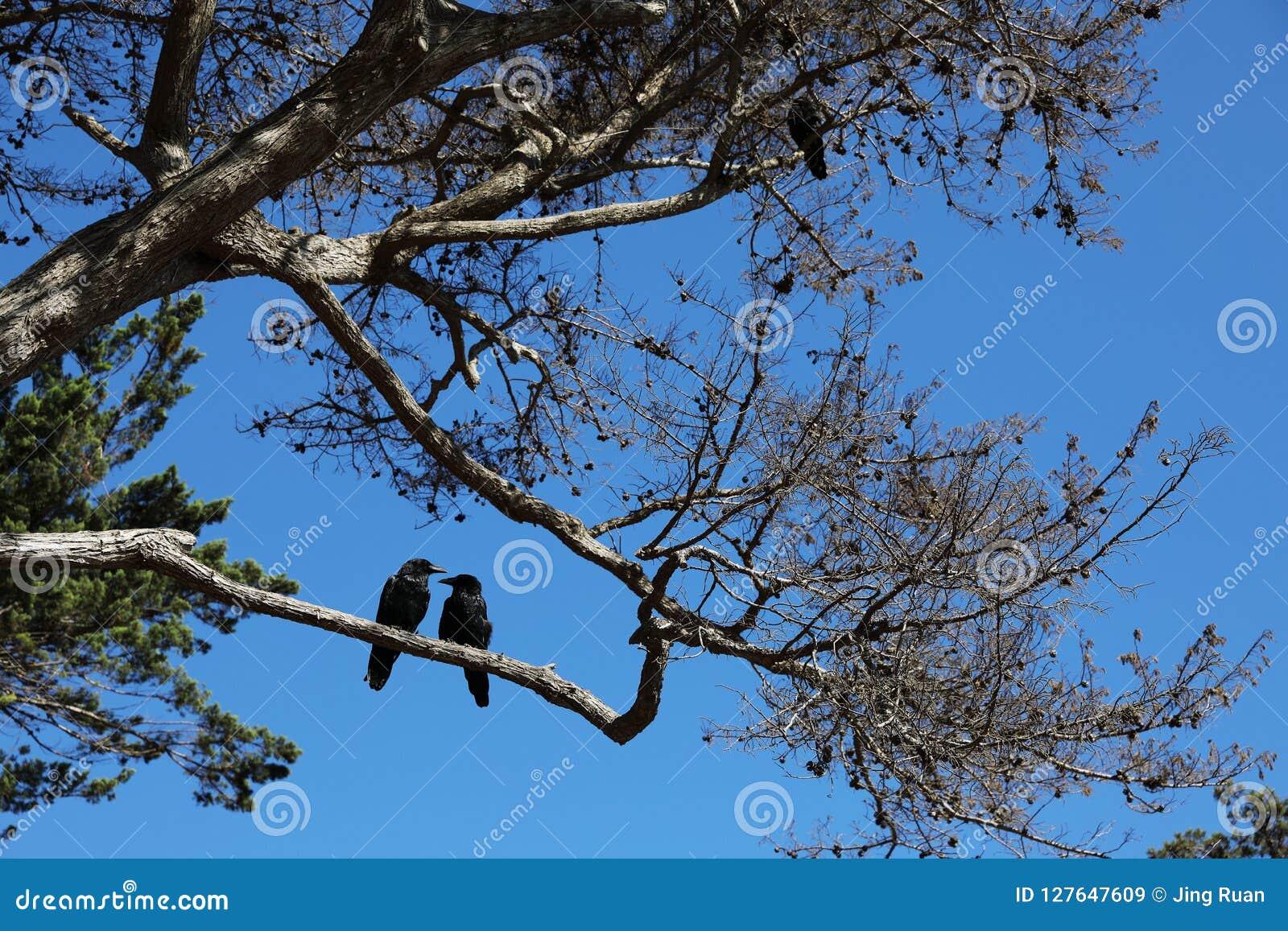 Twee zwarte vogels op de boom