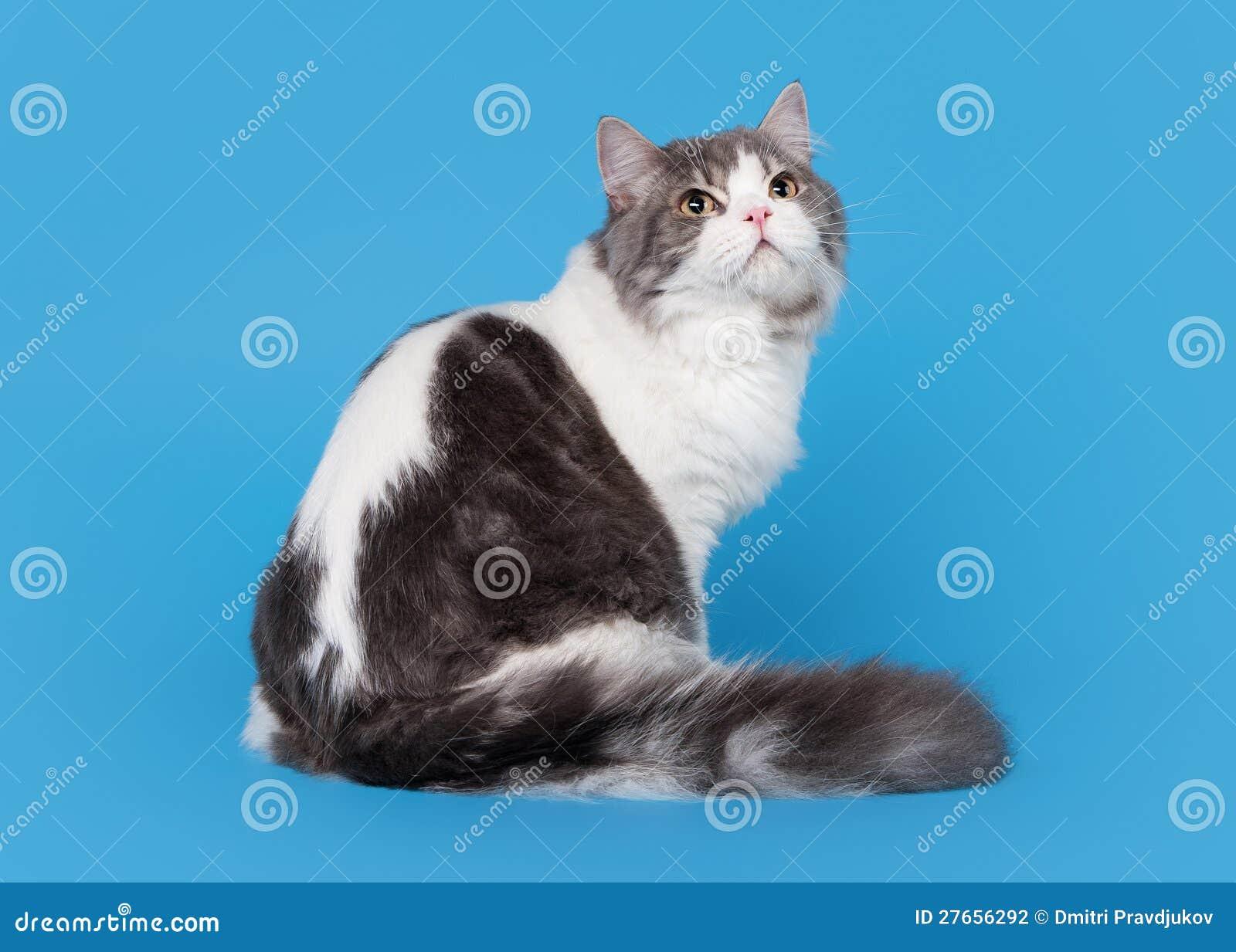 Tweekleurige hoogland rechte kat