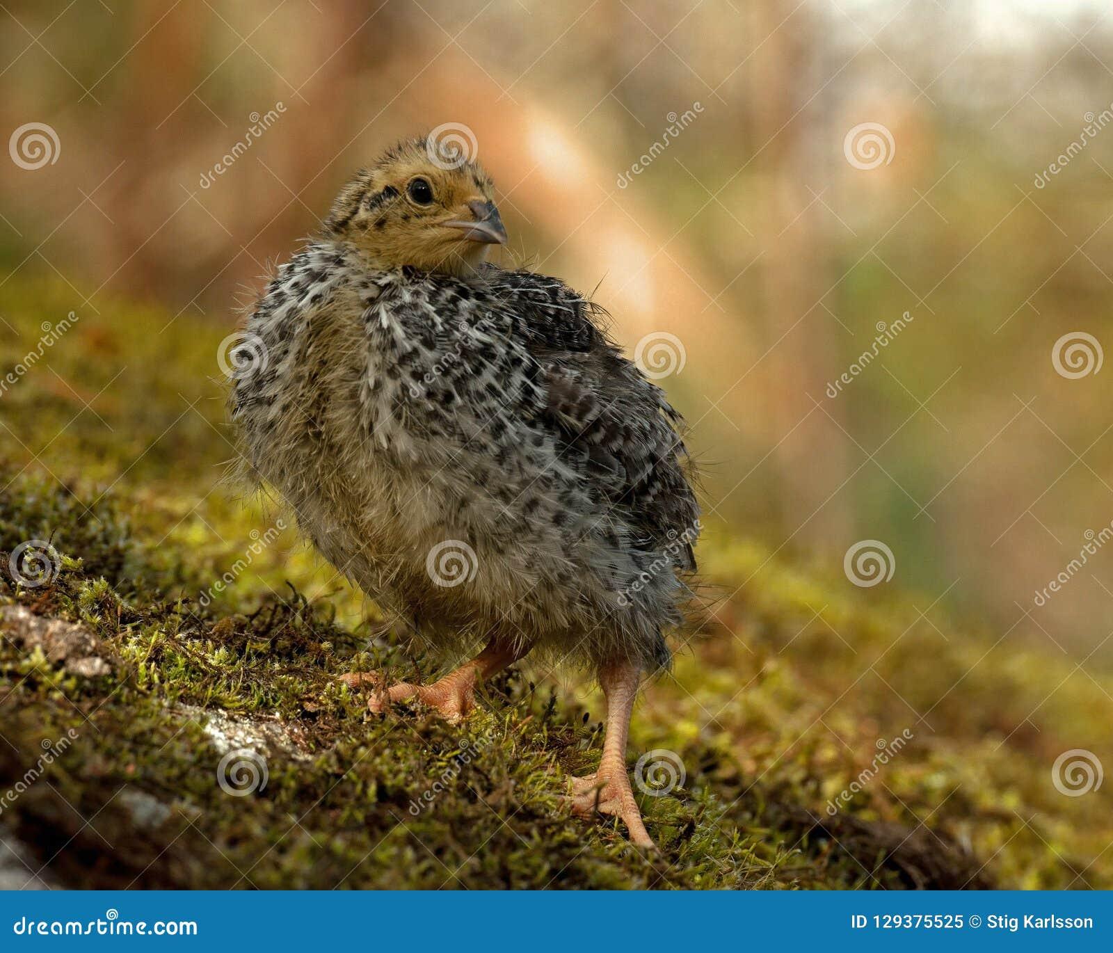 Twelve days old quail, Coturnix japonica..... photographed in nature.