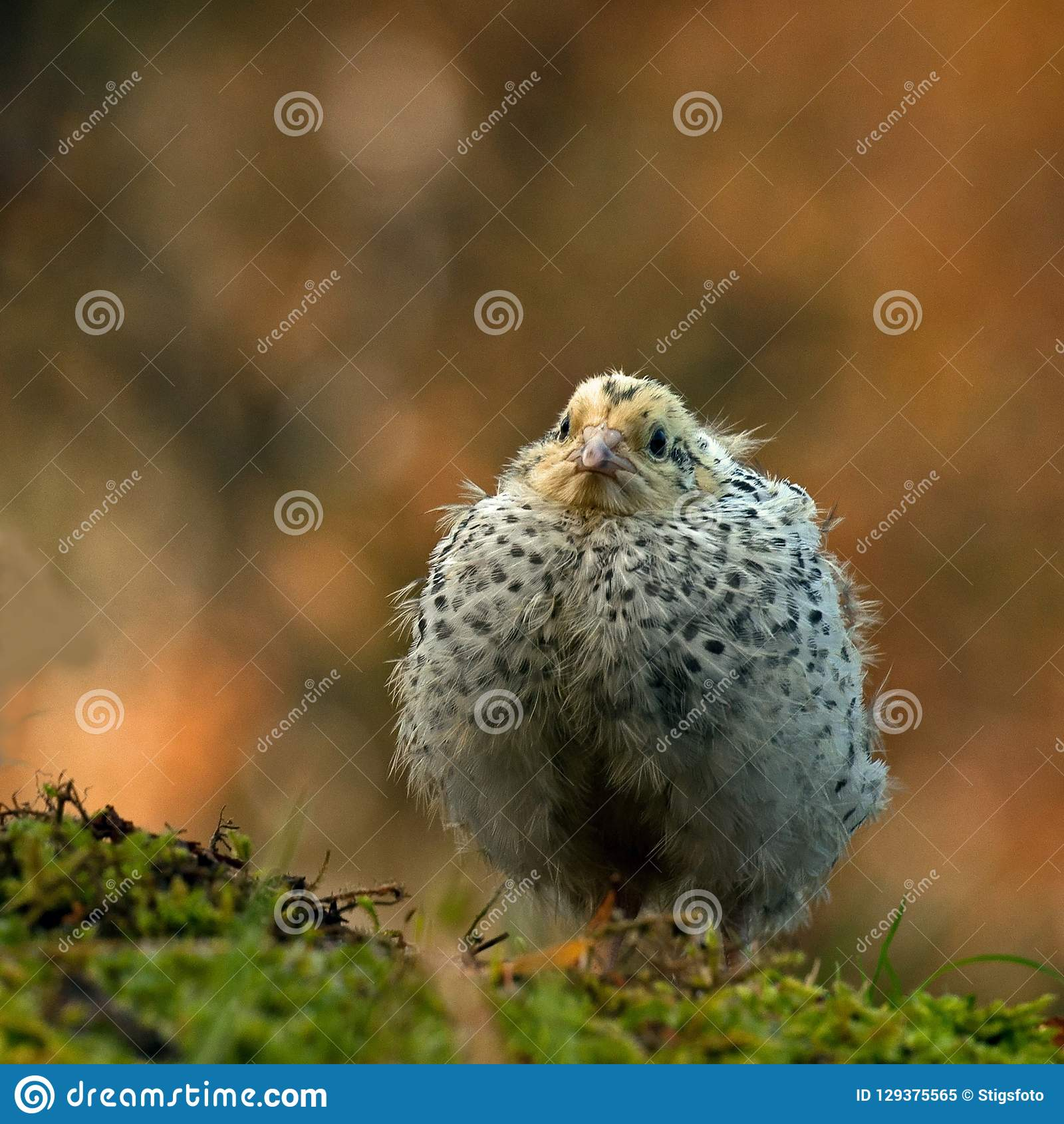 Twelve days old quail, Coturnix japonica..... photographed in nature.