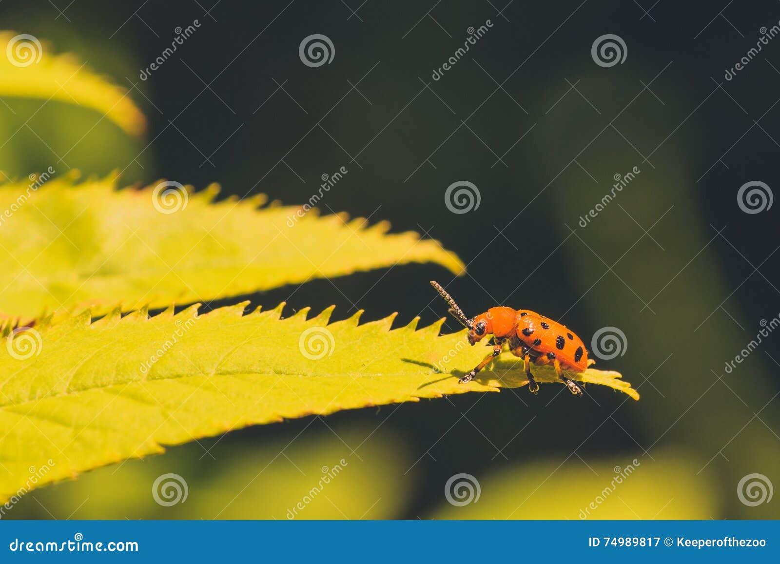 Twelve Spotted Asparagus Beetle