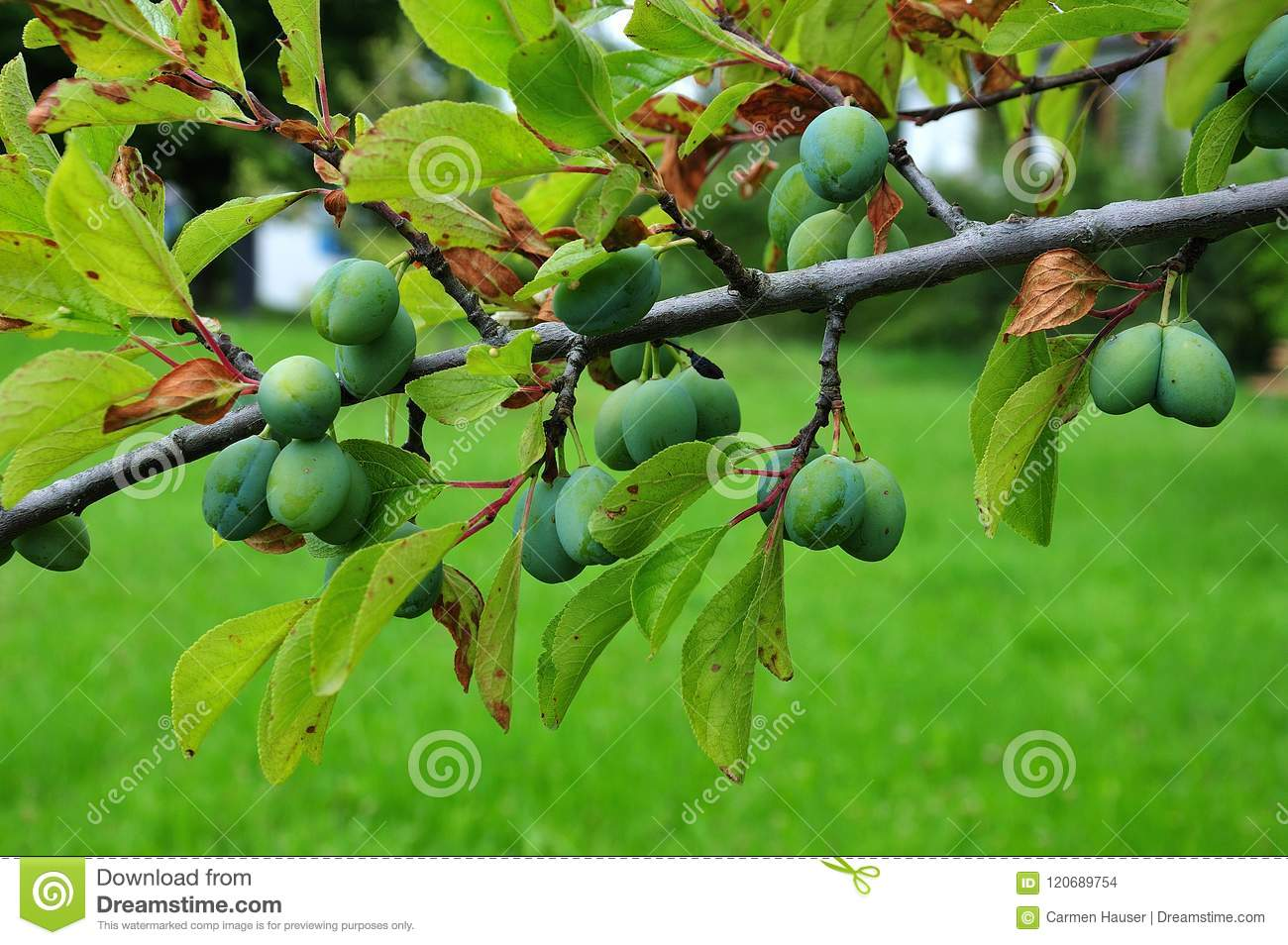 Greengages growing at branch in summer