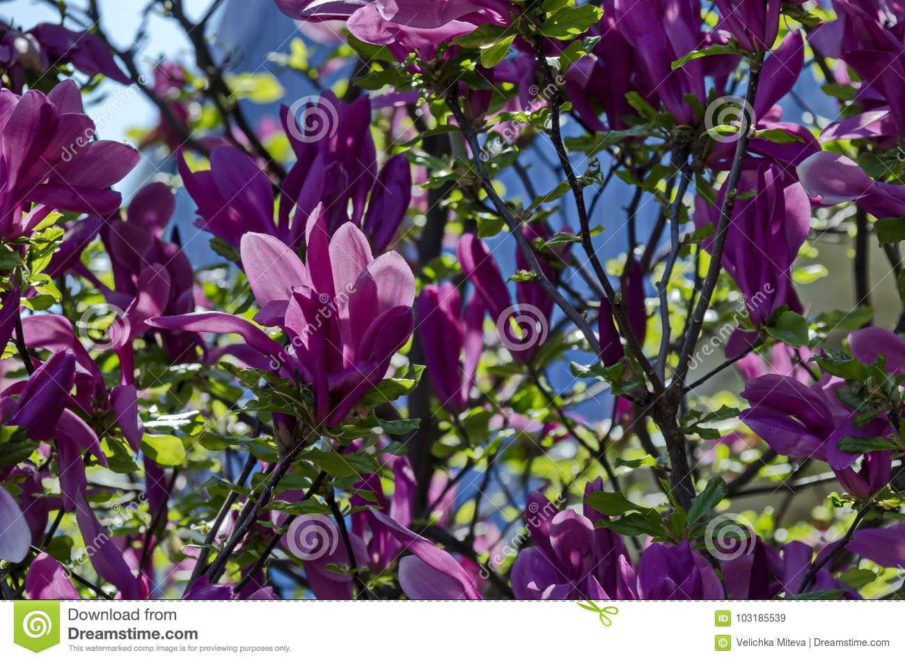 Twig With Purple Bloom And Leaves Of Magnolia Tree At Springtime In