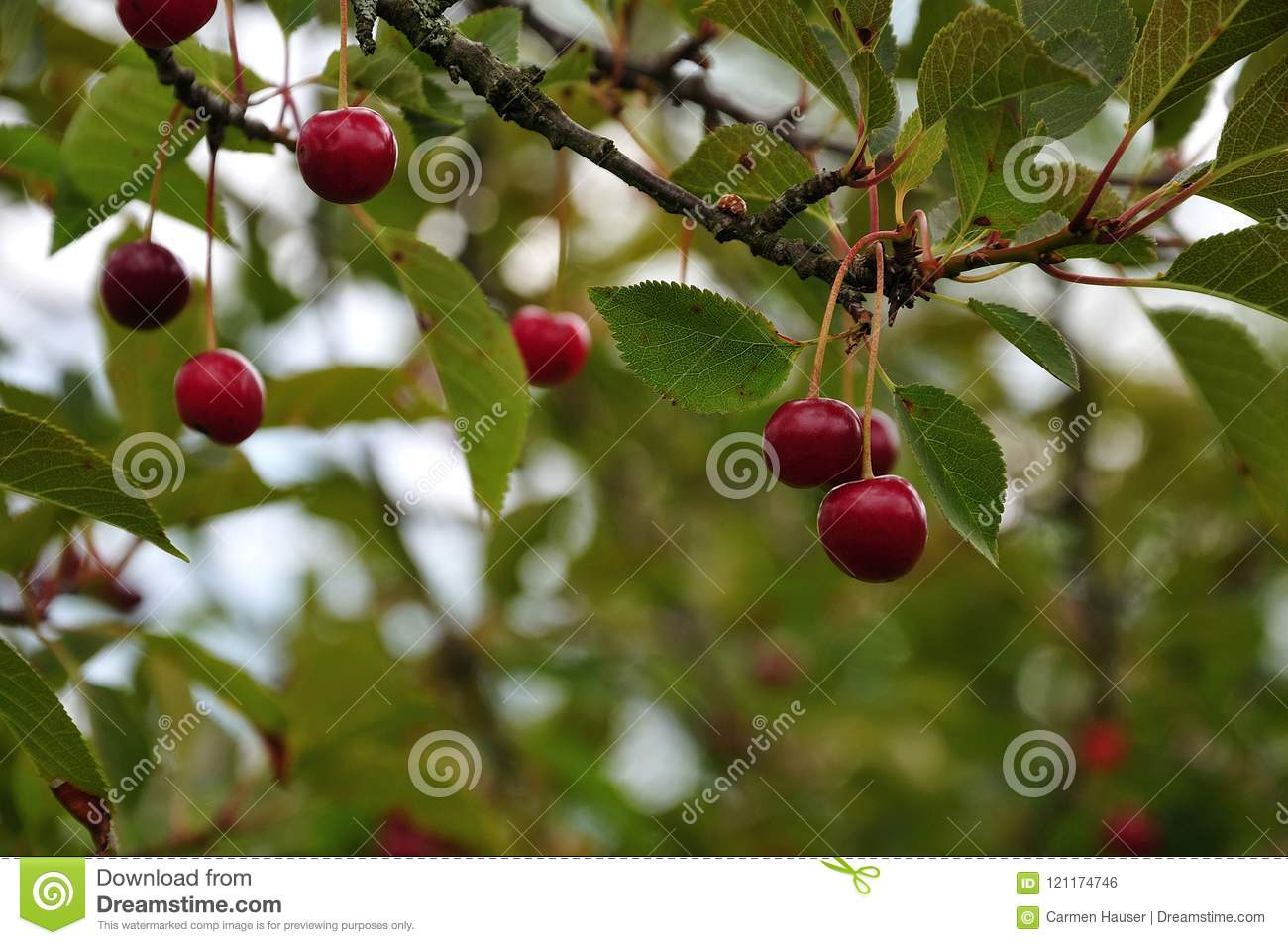 Red tart cherries at tree stock photo  Image of plant - 121174746