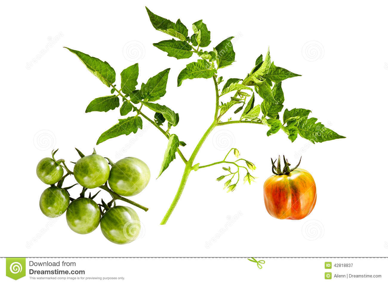 twig of tomato plant with flowers and green cherry. Black Bedroom Furniture Sets. Home Design Ideas