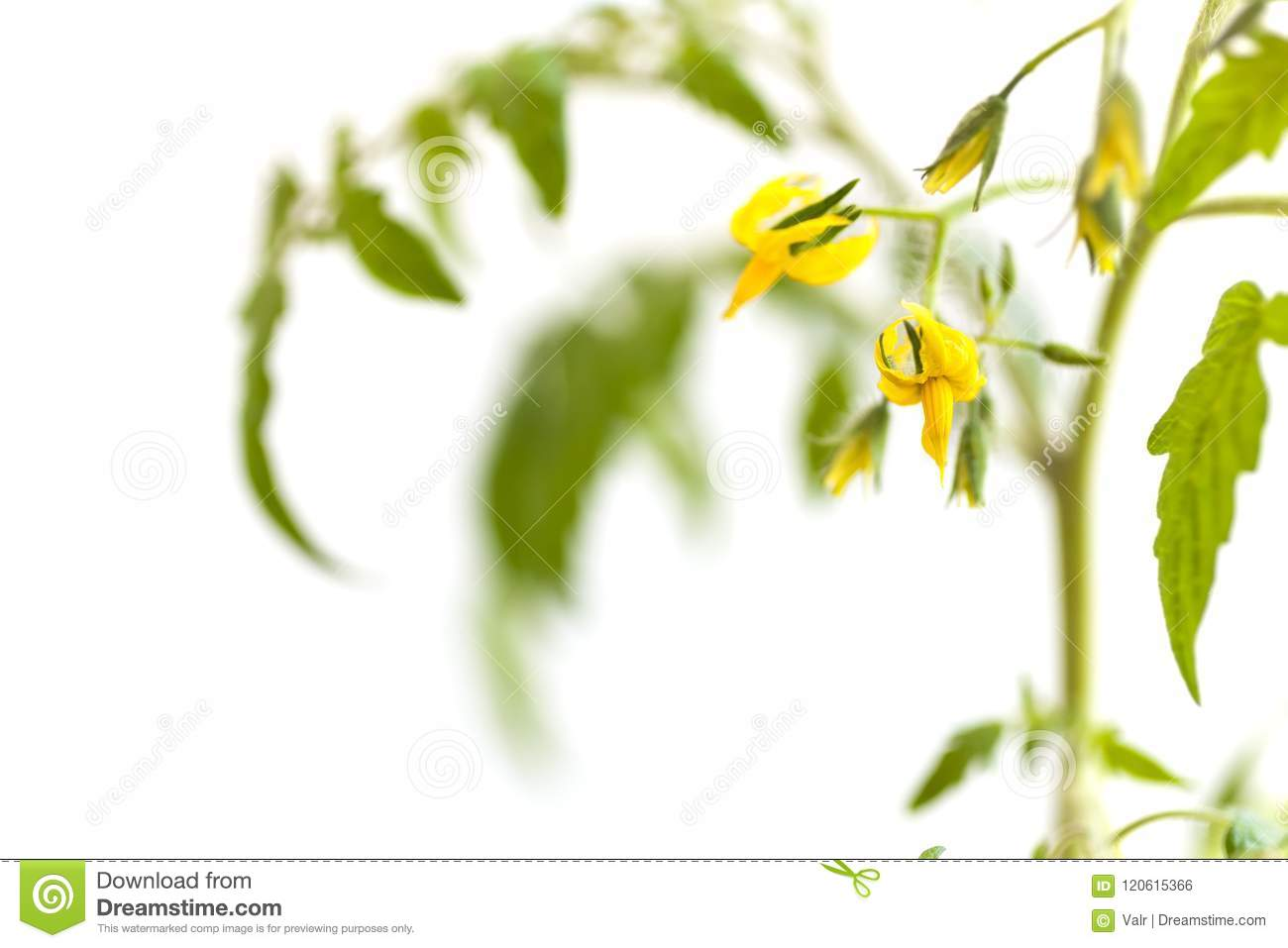 Twig Of Tomato Plant With Yellow Flowers Stock Photo Image Of Grow