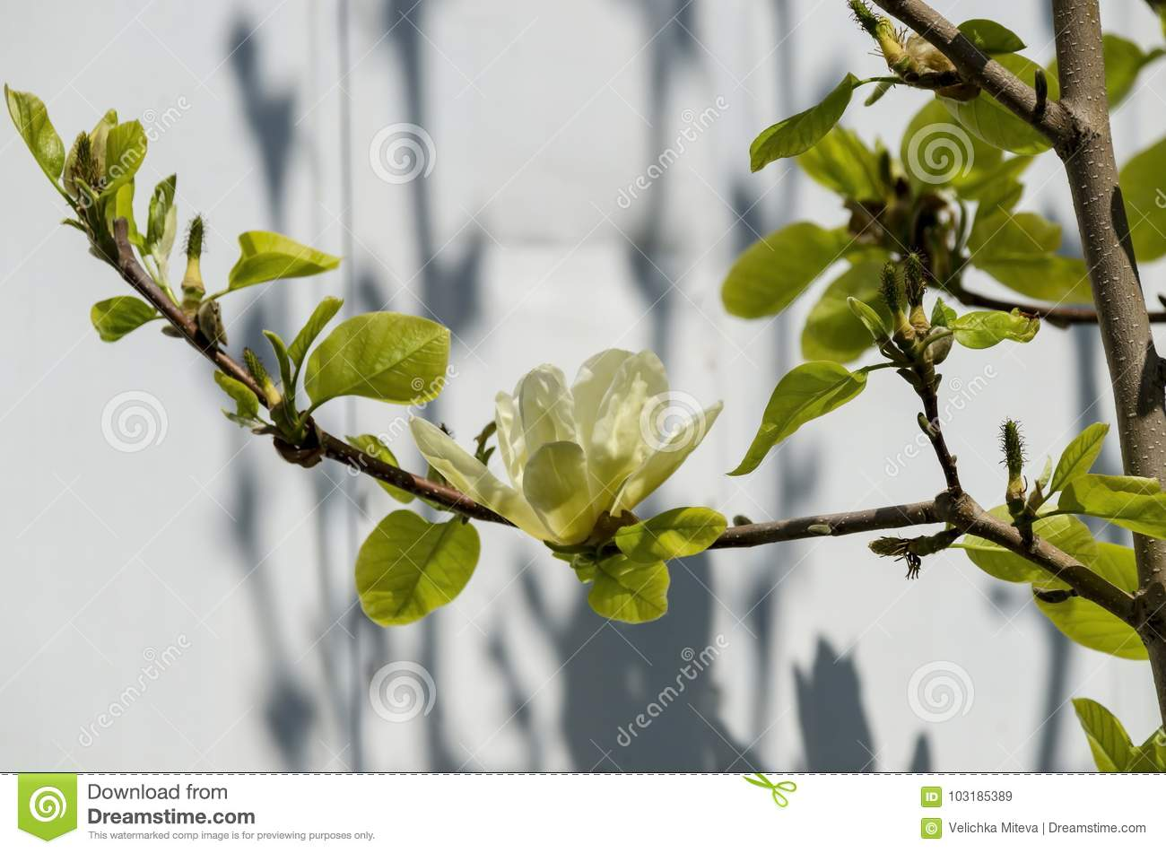 Twig With Yellow Bloom And Leaves Of Magnolia Tree At Springtime In
