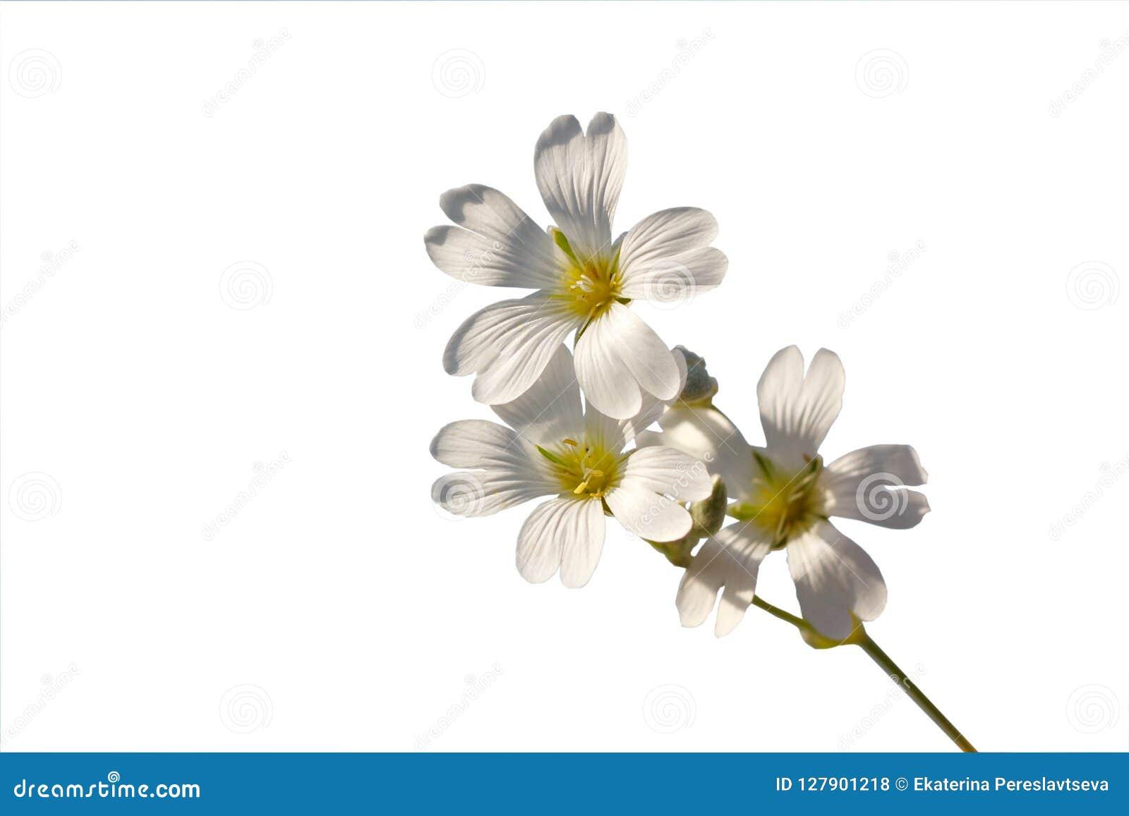 Twijg met witte bloemen op een witte achtergrond