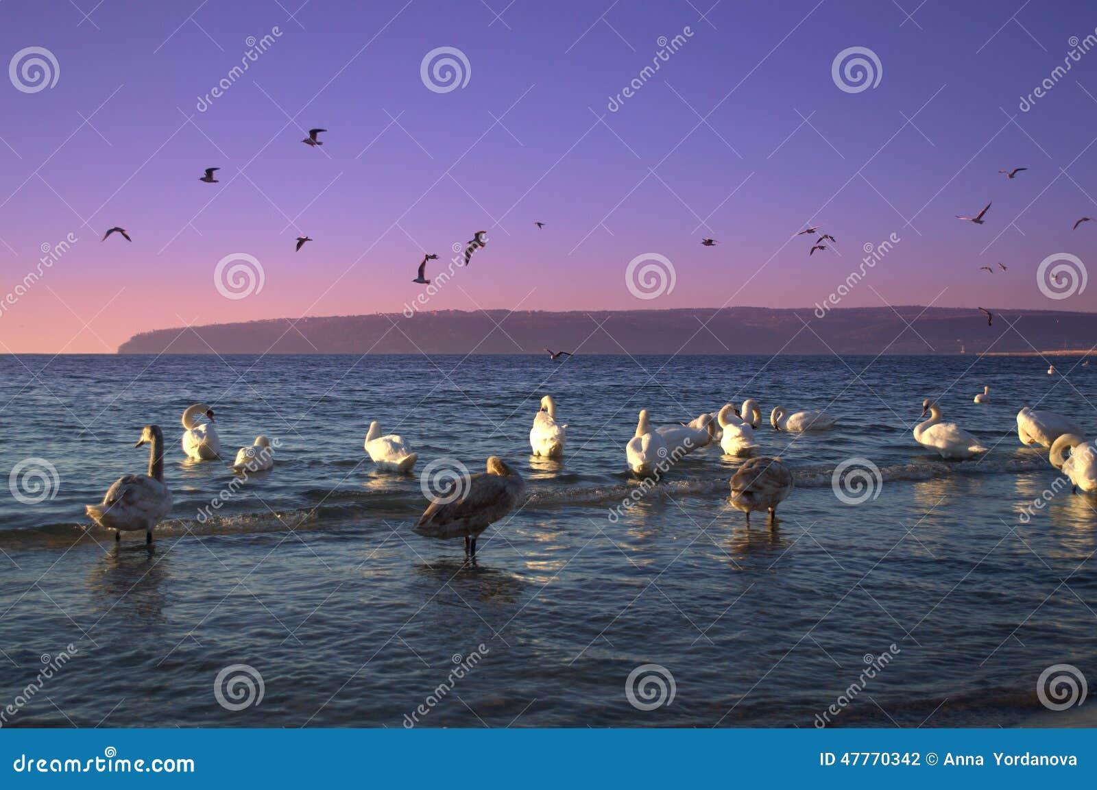 Twilight coast swans