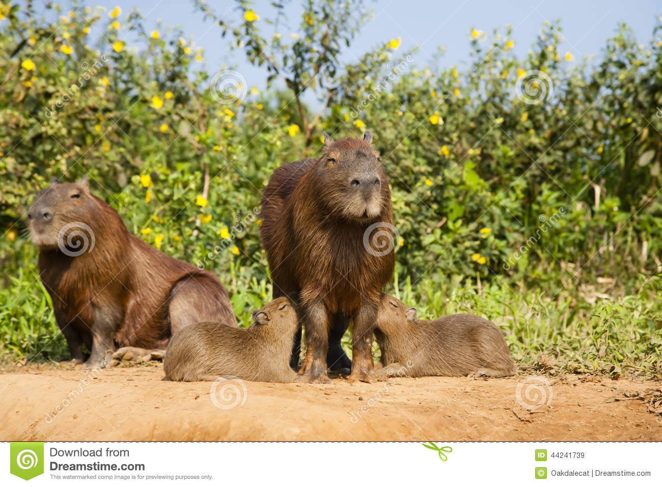 Twin Capybara Babies Nursing Stock Image Image Of Bush Herbivore
